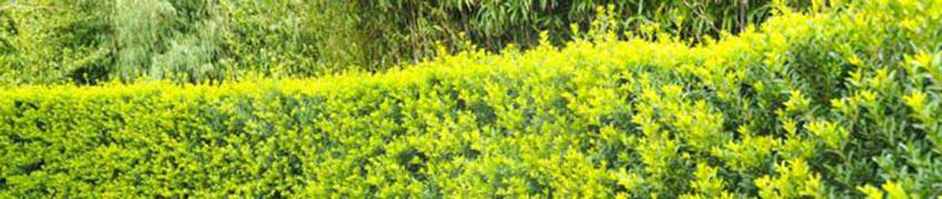 Der Berg-Ilex 'Green Hedge' auch in Ihrem Garten