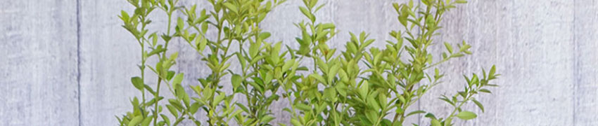 Wie sollte der Berg-Ilex 'Green Hedge' geschnitten werden?