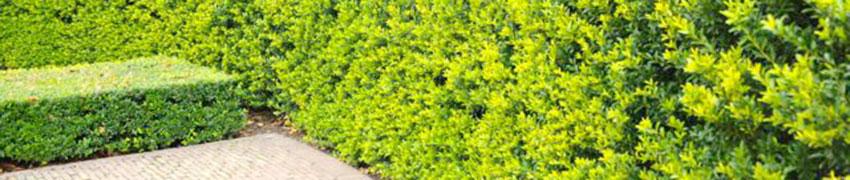 Den Berg-Ilex 'Green Hedge' online kaufen