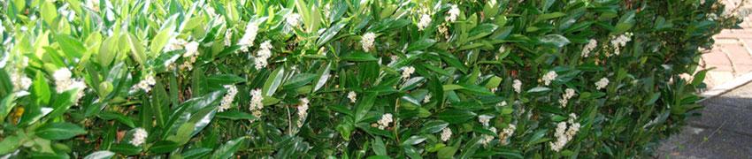 Mehr über den Breitwüchsigen Kirschlorbeer