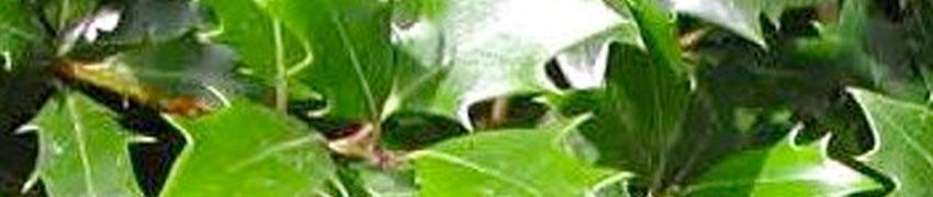Duftblüte Pflege