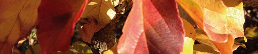 Eisenholzbaum über Heckenpflanzendirekt.at bestellen