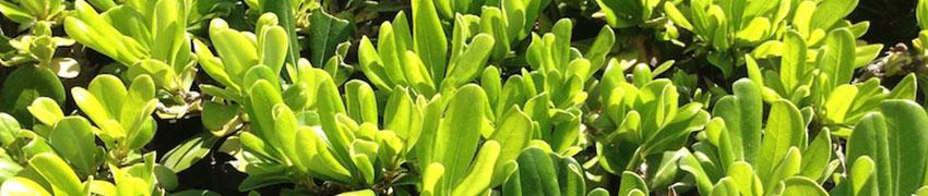 Griselinia Littoralis im Garten
