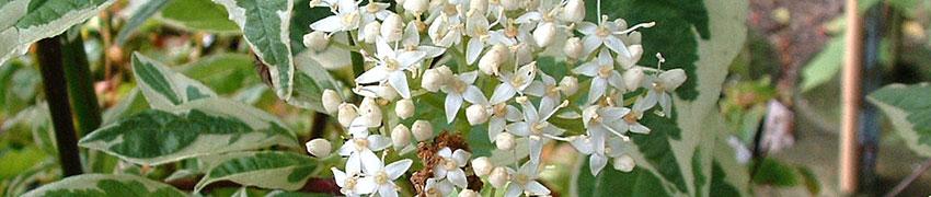 Hartriegel-Arten auf Heckenpflanzendirekt.at
