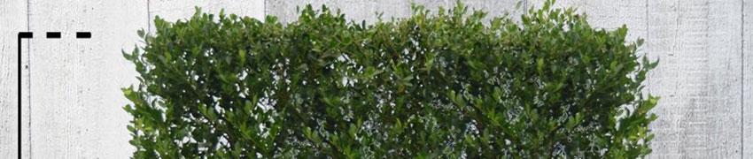 Ilex crenata als Ersatz für Buchsbaum-Hecken