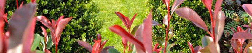 Immergrüne Heckenpflanzen in Ihrem Garten