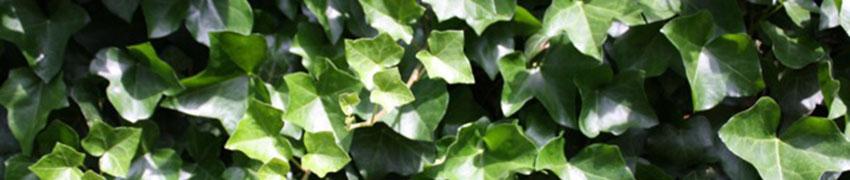 Irischer Efeu als Heckenpflanze