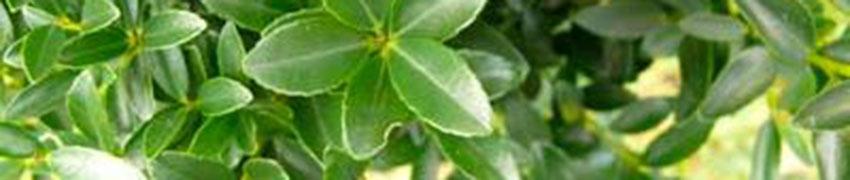 Den Ilex maximowicziana 'Kanehirae' pflegen und schneiden