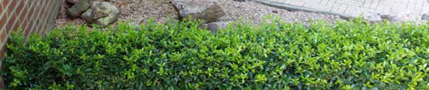Der Ilex maximowicziana 'Kanehirae': eine vielseitige Heckenpflanze