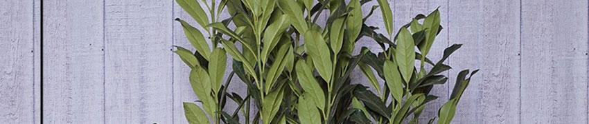 Kirschlorbeer Elly pflanzen