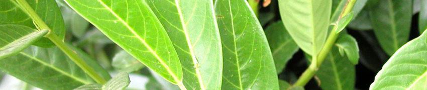 Der Kirschlorbeer 'Genolia' im Garten