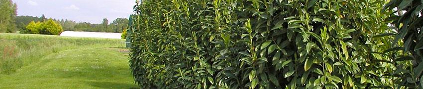 Kirschlorbeer 'Genolia' pflanzen