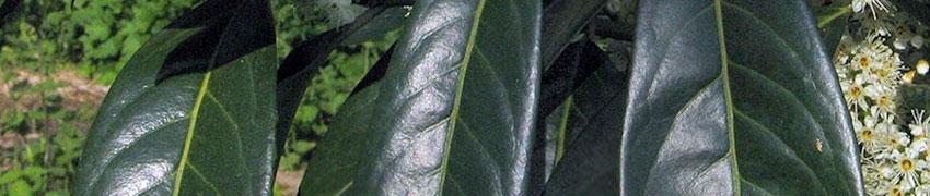 Mehr über den Kirschlorbeer 'Herbergii'