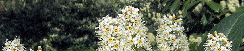 Ein Kirschlorbeer mit hübschen Blüten