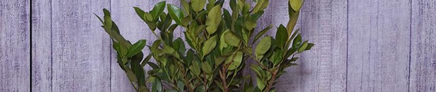 Kirschlorbeer 'Mano' pflanzen
