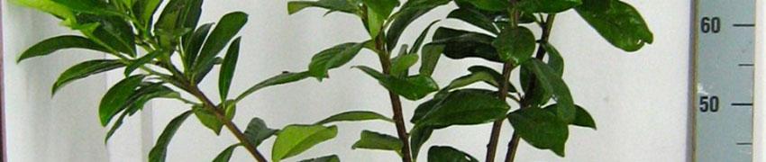 Den Kirschlorbeer 'Novita' schnell online bestellen
