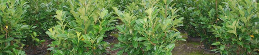 Den Kirschlorbeer 'Rotundifolia' online bestellen