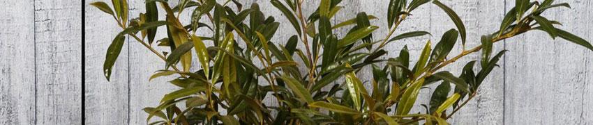 Besonders winterfeste Kirschlorbeer-Hecke