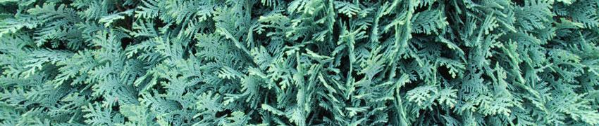 Koniferen-Arten als Heckenpflanze