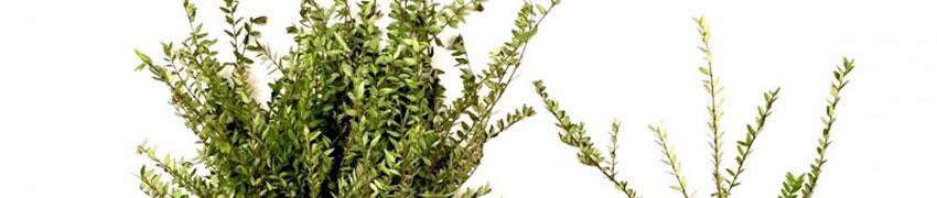 Lonicera nitida pflanzen