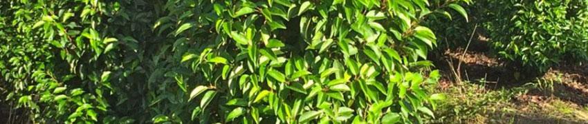 Portugiesischer Lorbeer als Heckenpflanze