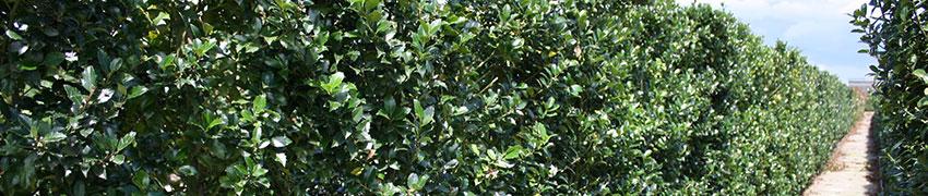 Stechpalme über Heckenpflanzendirekt.at kaufen