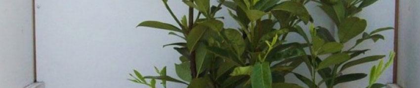 Zierlicher, schnellwachsender Kirschlorbeer