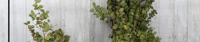 Amethystbeere 'Magic Berry' auf Heckenfpflanzendirekt.at kaufen