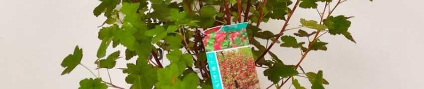 Blut-Johannisbeere 'King Edward VII' im Garten