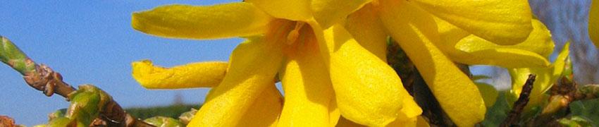 Forsythie 'Spectabilis' im Garten