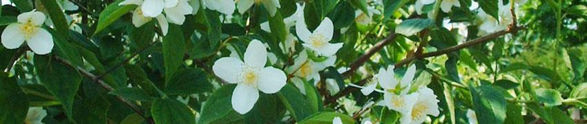 Gefüllter Gartenjasmin auf Heckenpflanzendirekt.at kaufen