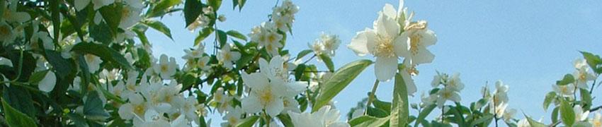 Gefüllter Gartenjasmin Eigenschaften