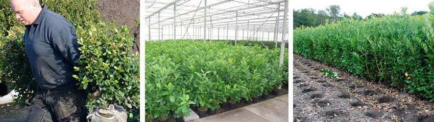 Heckenpflanzen online kaufen