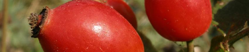 Heckenrose über Heckenpflanzendirekt.at bestellen
