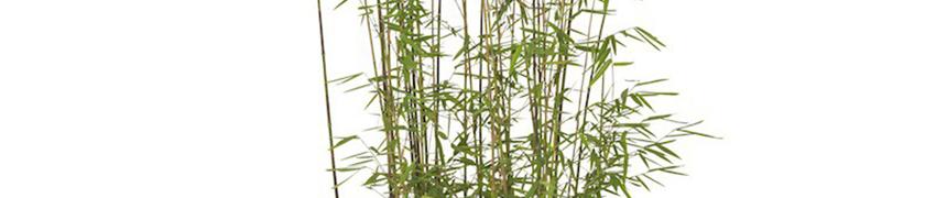 Jadebambus im Garten