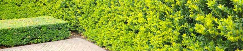 Japanische Stechpalme kaufen