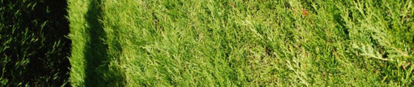 Leyland-Zypresse im Garten