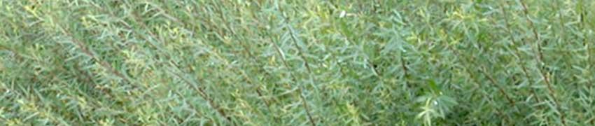 Niedrige Purpur-Weide auf Heckenpflanzendirekt.at bestellen