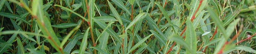 Niedrige Purpur-Weide Merkmale