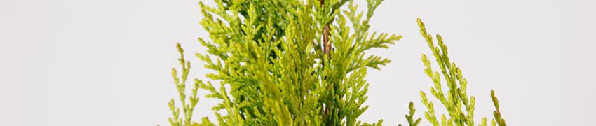 Scheinzypresse-Arten