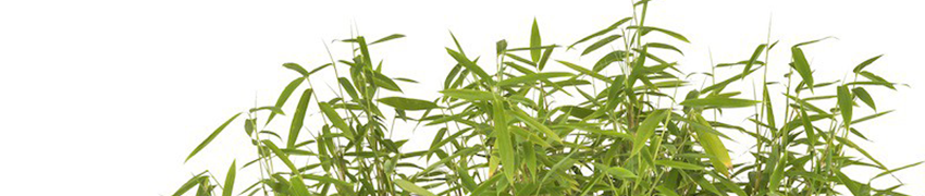 Schirmbambus 'Jumbo' online auf Heckenpflanzendirekt.at kaufen