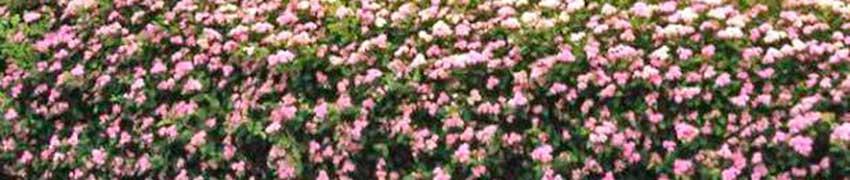 Strauchspiere über Heckenpflanzendirekt.at kaufen