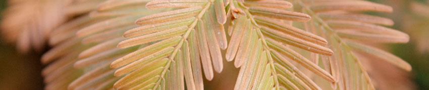 Urweltmammutbaum Hintergrund<