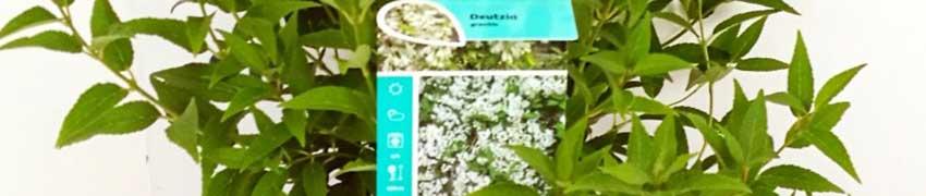 Zierliche Deutzie auf Heckenpflanzendirekt.at bestellen