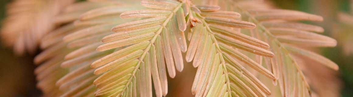 Heckenpflanzendirekt.at Webshop