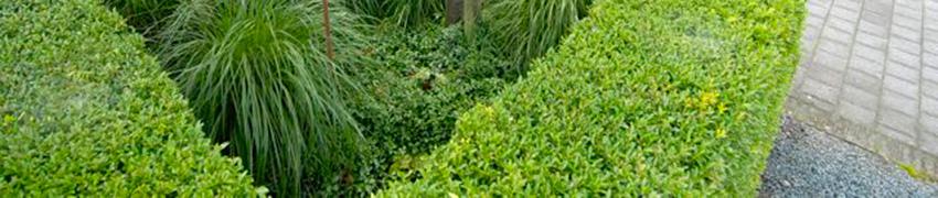 Heckenpflanzen in österreichischen Gärten