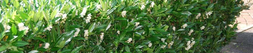 Kirschlorbeer Sorten