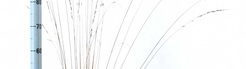 Molinia caerulea winterhard